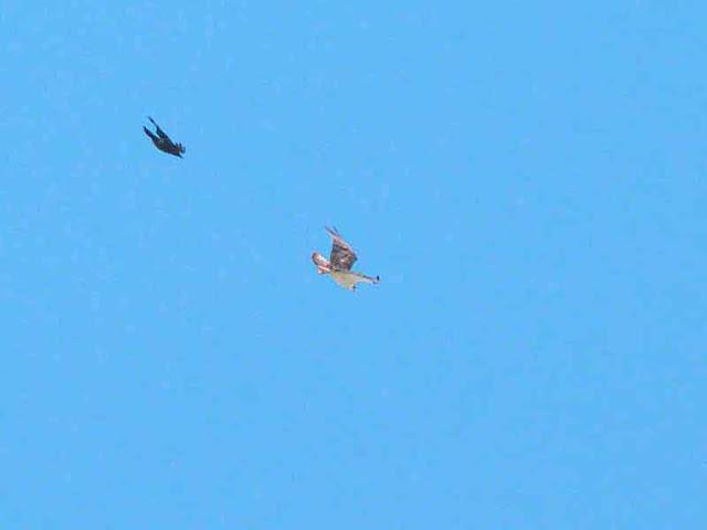 Crow chasing Osprey