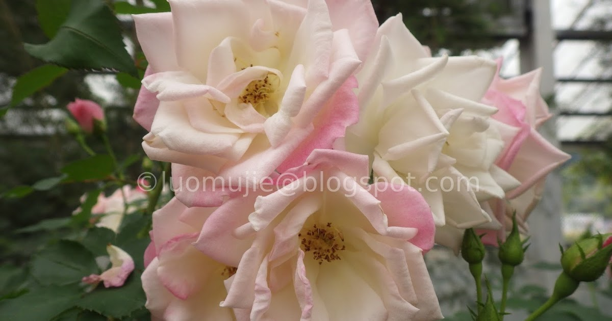"""Yunlin (雲林) - rose garden [Travel in Taiwan 170212: You and Yunlin Part 3 """"The Roses of Rosa Hill (羅莎玫瑰莊園)""""]"""