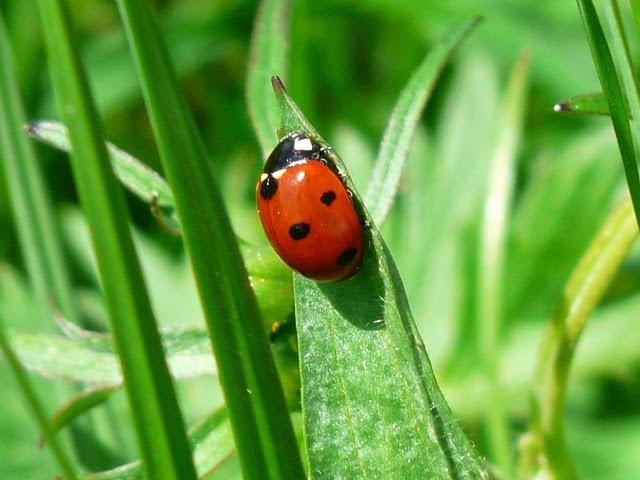 Kumbang koksi bisa terbang 74 mil dalam sekali terbang