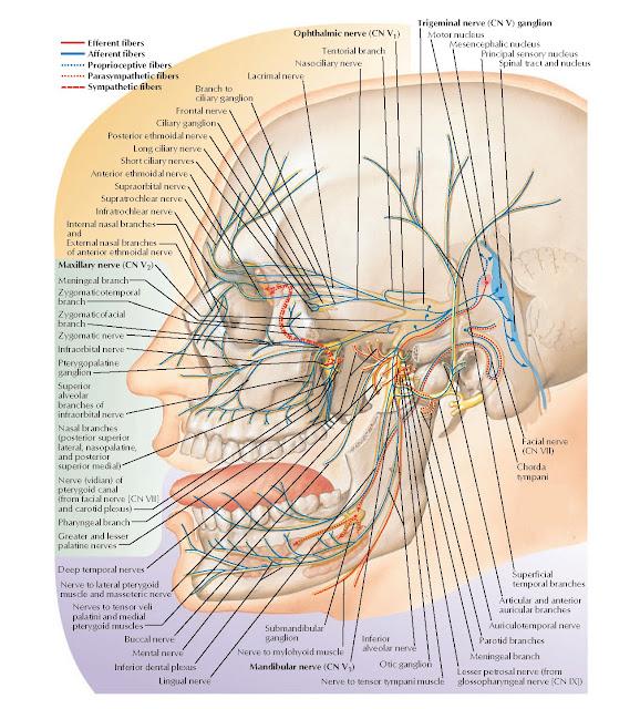 Trigeminal Nerve (CN V): Schema Anatomy