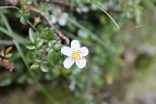 ヤクシマイバラ、屋久島の植物7月