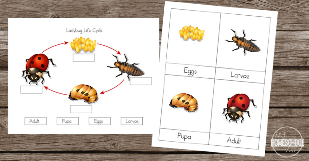 Life Cycle of a Ladybug Worksheets