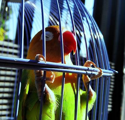 Mengatasi Lovebird Menjeruji Saat di Gantang