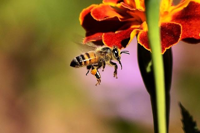 Οι μέλισσες γνώριζαν ότι η γη είναι στρογγυλή εκατομμύρια χρόνια πριν τον άνθρωπο. Έχουν GPS και παίρνουν γρήγορα αποφάσεις