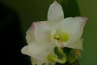 kwiaty dendrobium