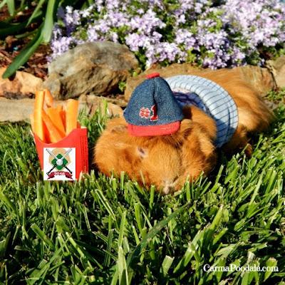 Guinea pig in baseball hat