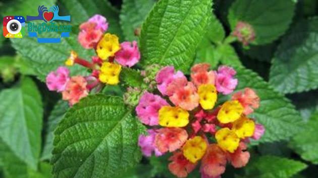 Tanaman outdoor Bunga Saliara