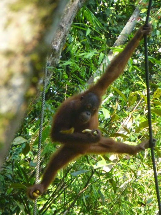 Omega is the 131st rehabilitated and released orangutan in Bukit Batikap Conservation Forest, Borneo