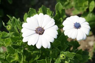 Marguerite du Cap 'Asti White' - Osteospermum 'Asti White'