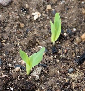 Sweetcorn seedlings already