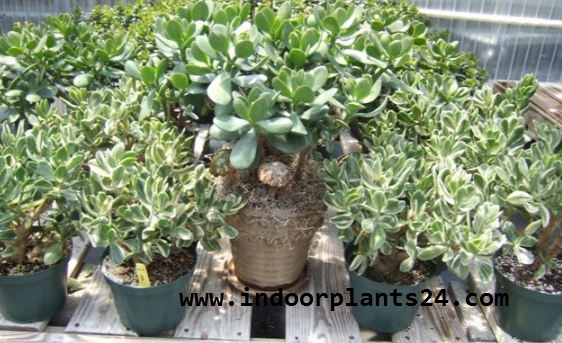 CRASSULA OVATA indoor house plant image