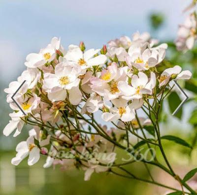 hoa hồng leo cánh đơn màu trắng