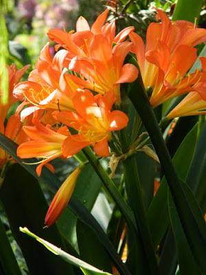 Kaffir lily Clivia miniata Allan Gardens Conservatory 2016 Spring Flower Show by garden muses-not another Toronto gardening blog