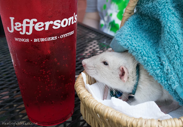 Oliver the Therapy Rat besides a cup of a refreshing beverage