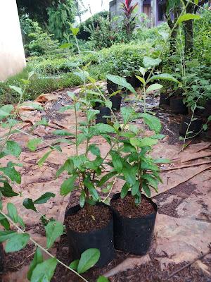 Jual bibit pohon lee kwan yew - SuryaTaman