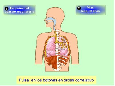http://recursostic.educacion.es/secundaria/edad/3esobiologia/3quincena8/imagenes/vias_respiratorias.swf