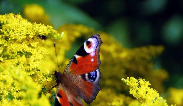 peacock, butterfly, neitoperhonen, summer, flower, yellow, kesä, kukka, keltainen, keltainen kukka, suomi, finland