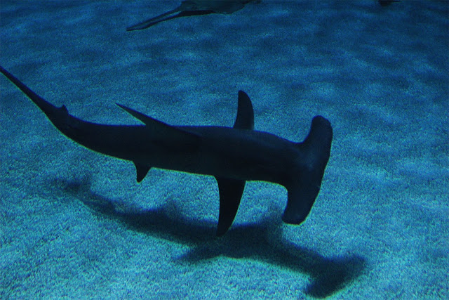 Picture of Hammerhead Shark