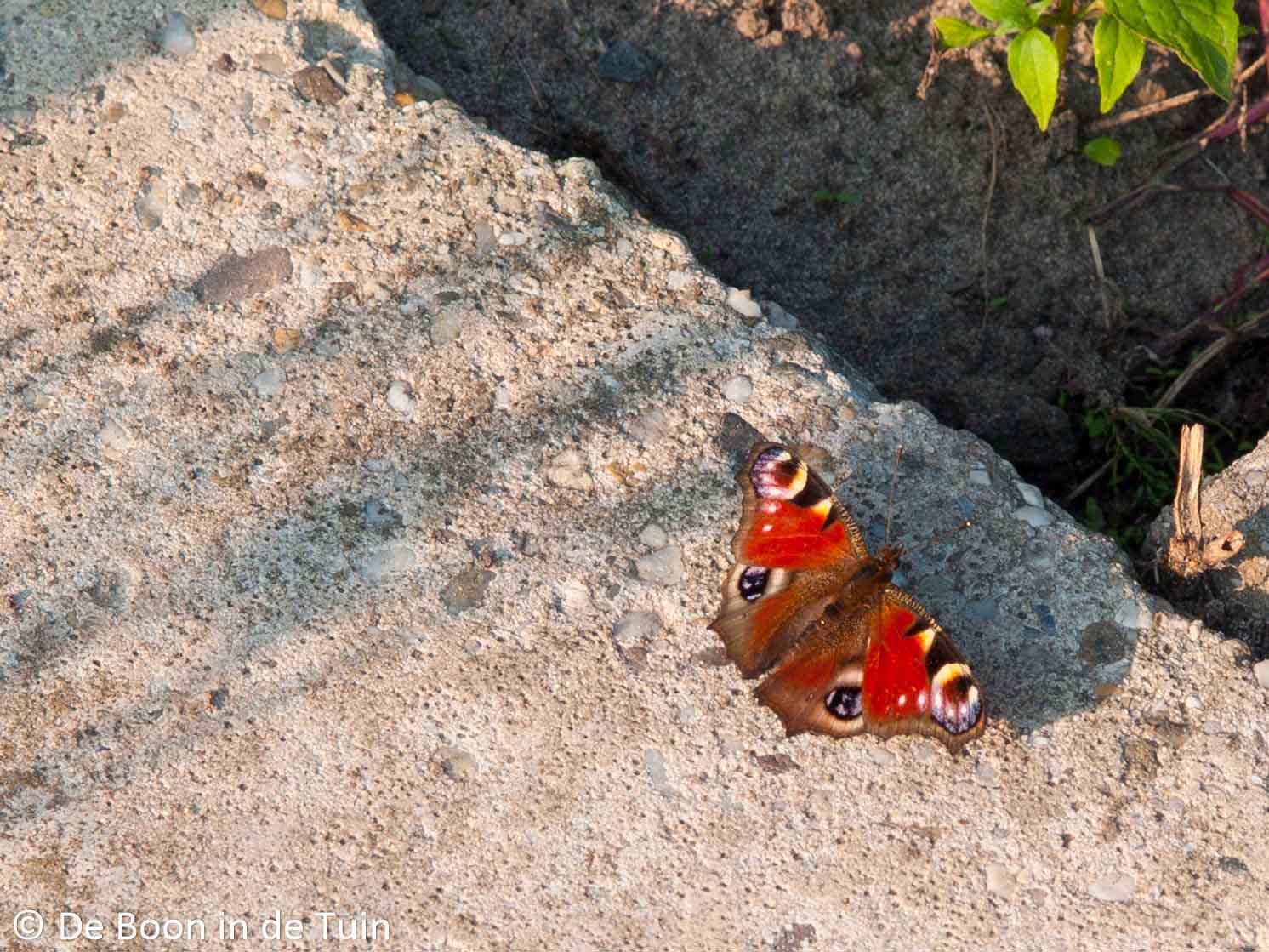 vlinder rups dagpauw moestuin volkstuin