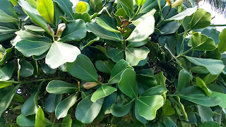 Clusia major (Autograph tree) leaves shrub tree tropical bahamas caribbean florida