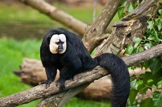 Необычные приматы, белолицый саки