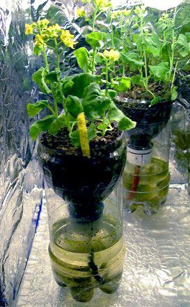 cara membuat tanaman hidroponik dan contohnya