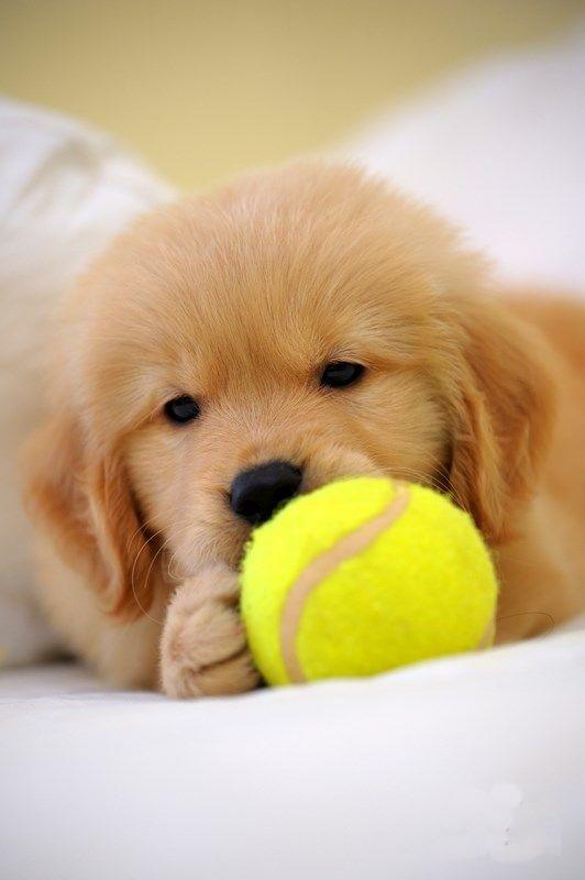 A Golden Retriever and tennis ball