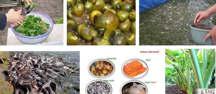 7 Makanan Ikan Lele Alami di Sekitar Kita Cepat Besar