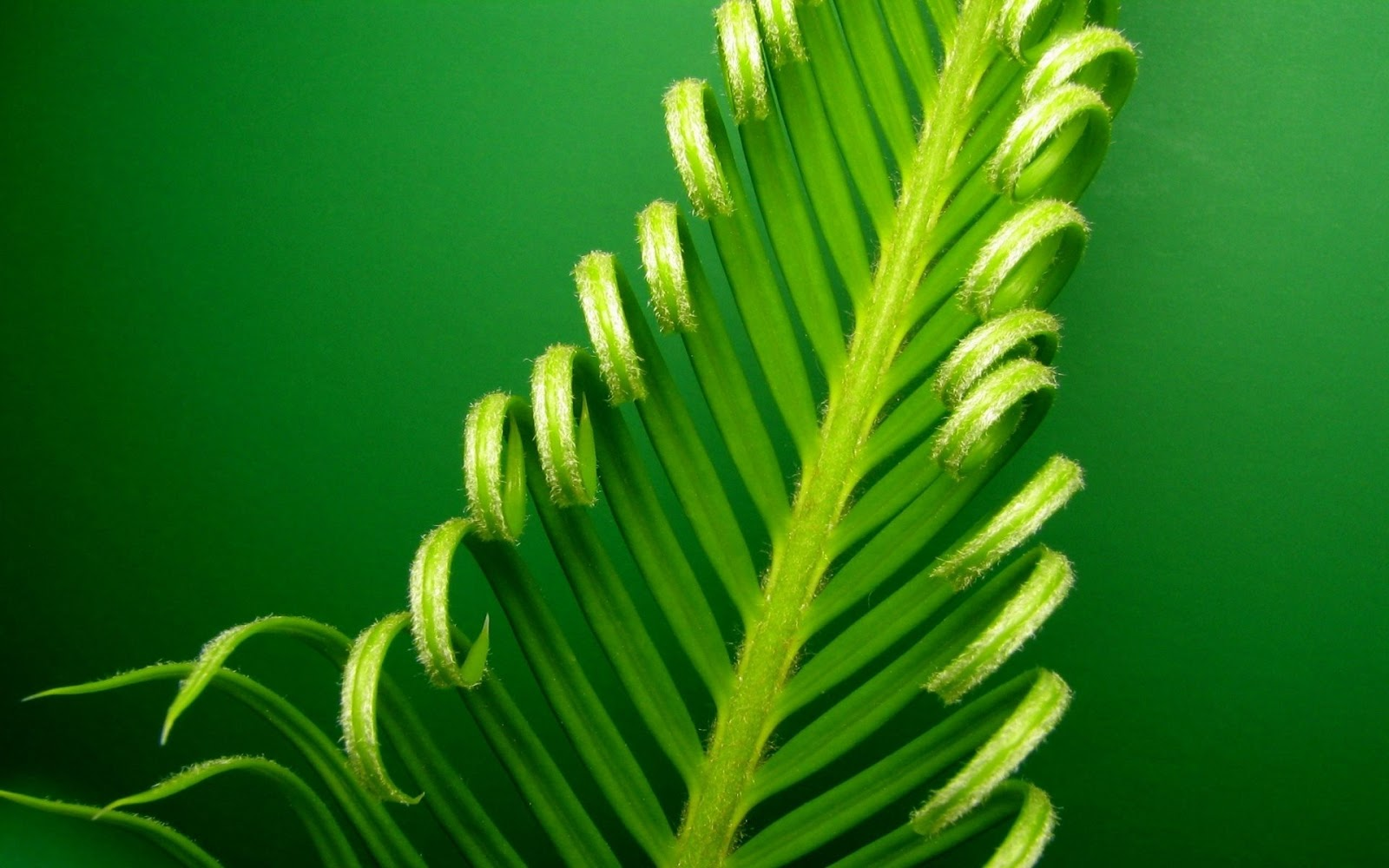 Banana Leaf Wallpapers