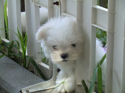 tristeza en el perro maltes