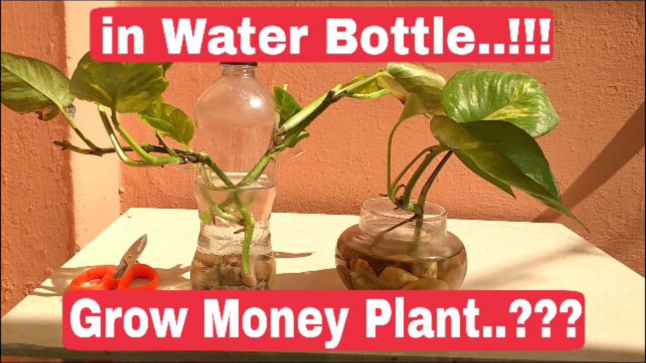 How to make Bonsai: How to grow money plant in water bottle