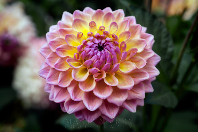 Gorgeous dahlia at Anglesey Abbey by Martyn Ferry Photography