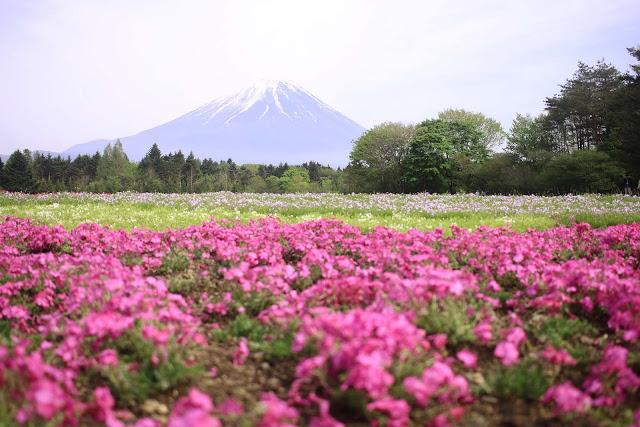 shibazakura flowers