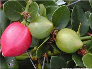 Sageretia fruit pictures (Sageretia theezans)
