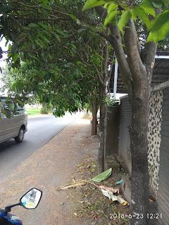 Pohon Tanjung di Tepi Jalan