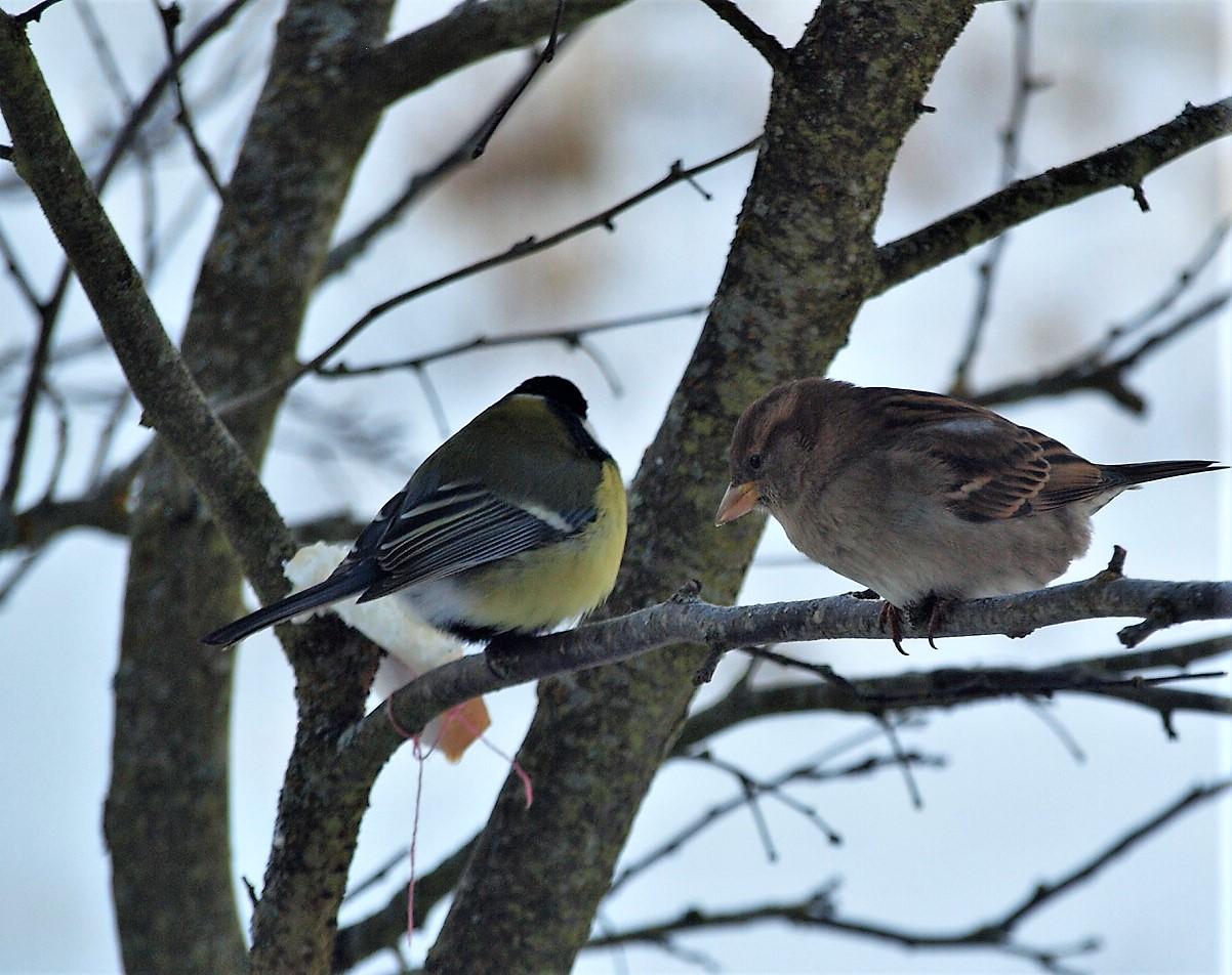 какие птицы прилетают зимой к кормушкам фото планируете украсить