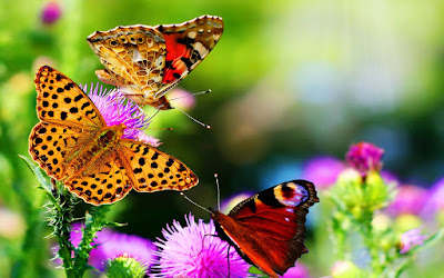 hdwallpapers-nice-collection-of-butterfly-images