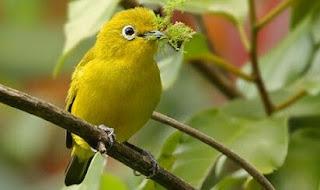 Jenis Dari Burung Pleci Dakun Dari Bali