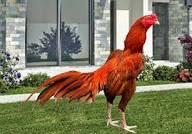 Ayam Bangkok Semi