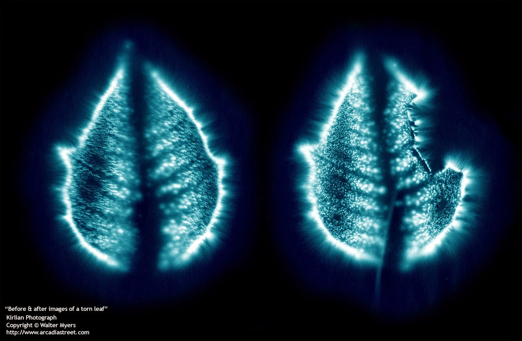He Started To Experiment On A Freshly Picked Leaf When The Film Developed It Had Bright Aura Around As If Were Fully Alive And Functional