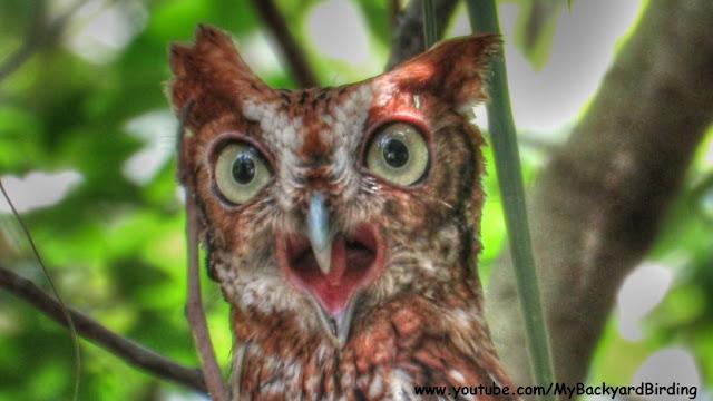 Screech Owl Versus Blue Jays