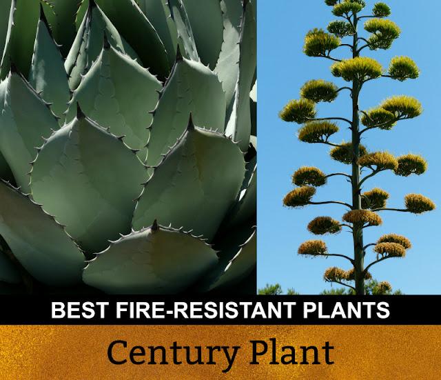 Best Fire Resistant Plants Century Plant