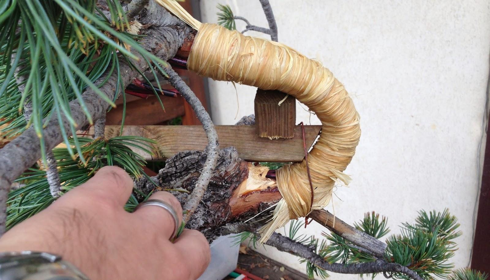 How To Bend Bonsai Tree Trunks Bonsai Tree Gardener