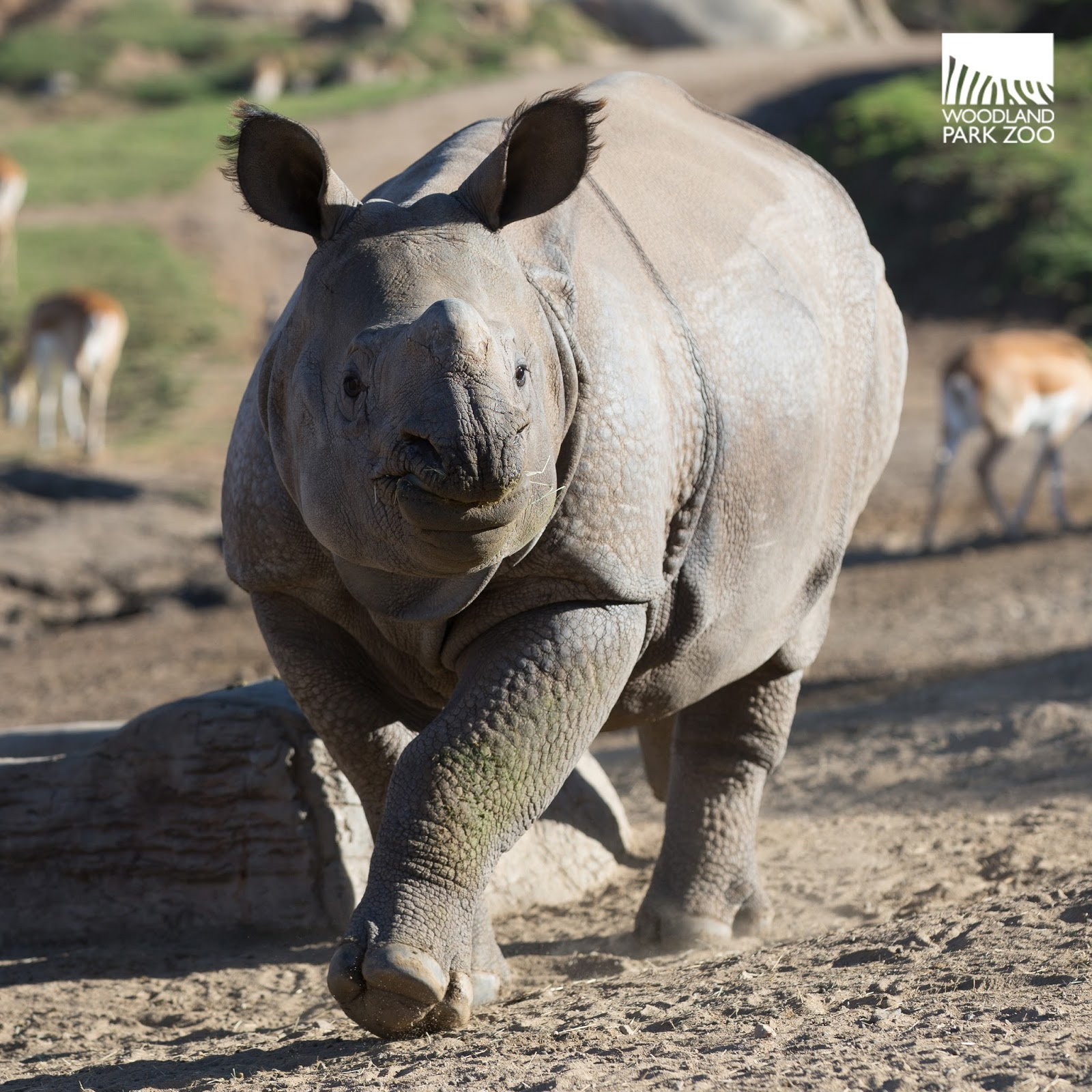 First rhino arrives safely at the zoo—welcome Taj! Assam