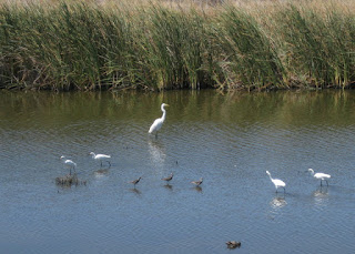 Great egret, four snowy egrets, and a few other shore birds, San Francisco Bay, Mountain View, California