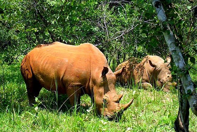 Badak bercula satu satwa langka di Taman Nasional Ujung Kulon
