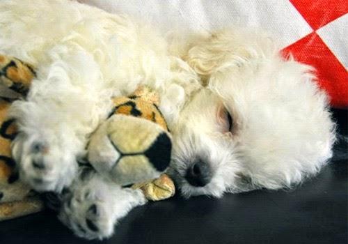 15 Cara Merawat Anjing Mini Pom yang Mudah dan Efektif