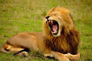 Un lion qui rugit