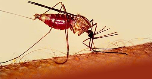 Nyamuk Anopheles nyamuk paling berbahaya di dunia