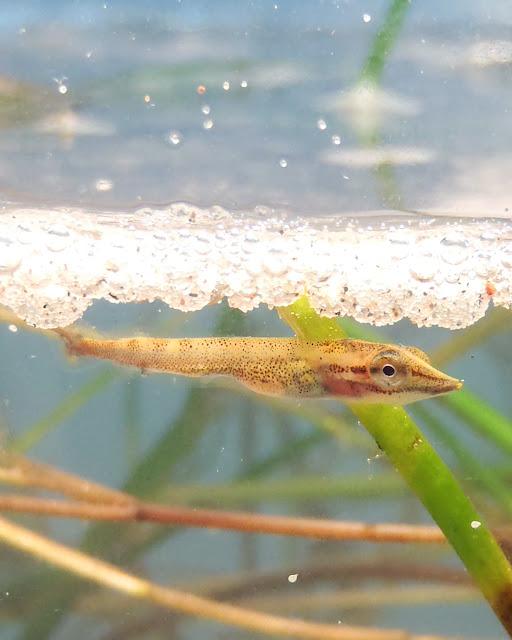 Microplastic particles threaten fish larvae